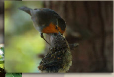father feeding robin chick
