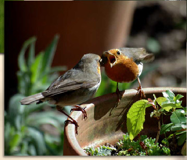 male robin feeding female robin